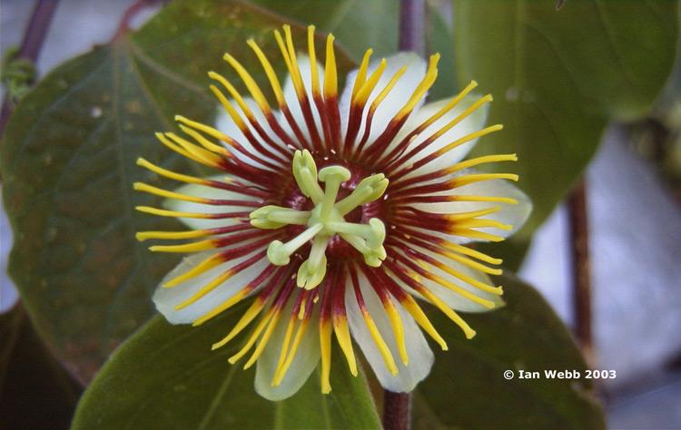 Und einer p alata - Rankende zimmerpflanzen ...